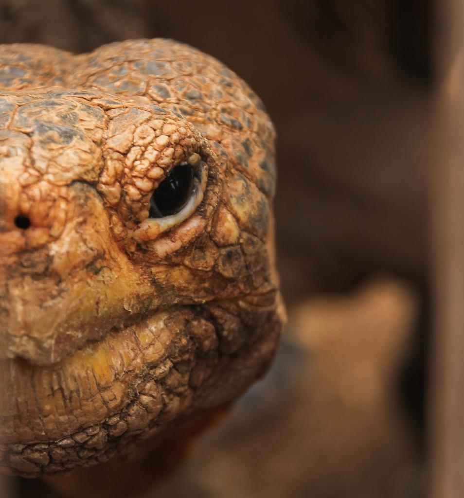 Española Tortoise