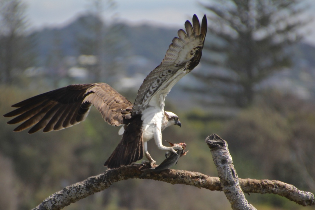 Osprey & Lunch