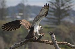 Osprey & Lunch