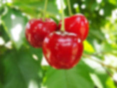 cherry-cherry-farm-cherries-upick-pick-fruit-victo51.JPG