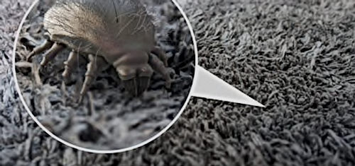 Dust mites in carpets and mattress steam