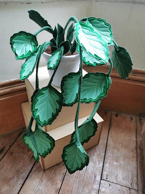 Trailing mint leaf plant