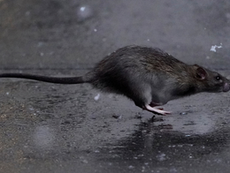 Rats, Rubbish and Hygiene in 17th Century Yorkshire