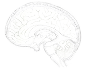 brain and ventricles composite_v1.png