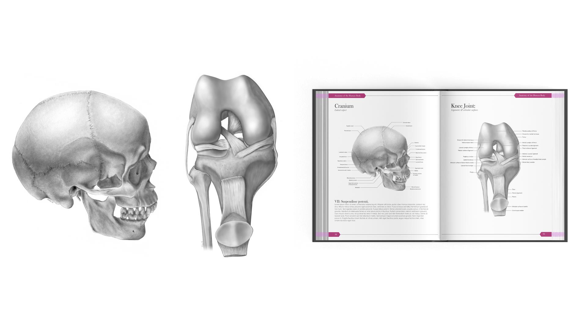 Anatomical Illustrations · Illustrations anatomiques