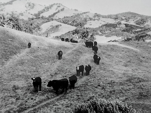 """Small Cows #2, Carmel Valley, CA "" (framed) Arabella Colton"