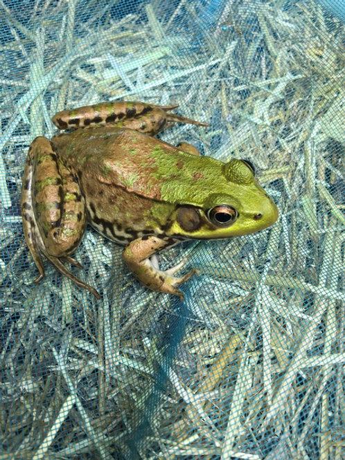 """Pool Frog"" Deborah Ramsden"