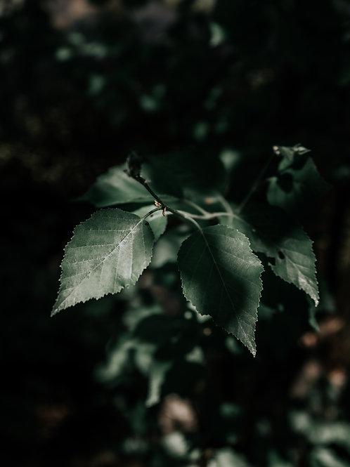 Sunlight Leaves - Fine Art Photo