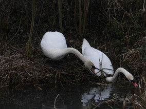 As the sun sets the swans continue to build their nest