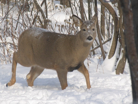 As Sure-Footed As a Whitetail