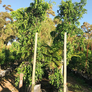 Ficus benjimina 125lt