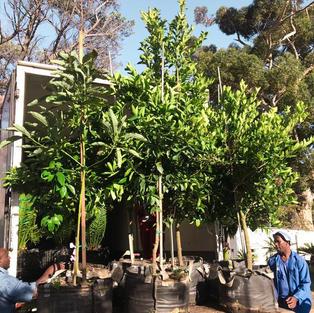 Loading 125lt trees