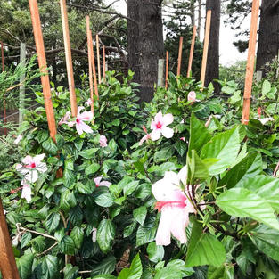 Hibiscus 'Apple Blossom' 70lt