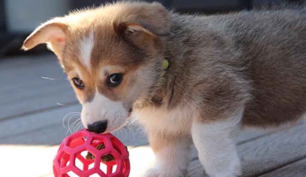 Corgi Puppy Playing with a red ball