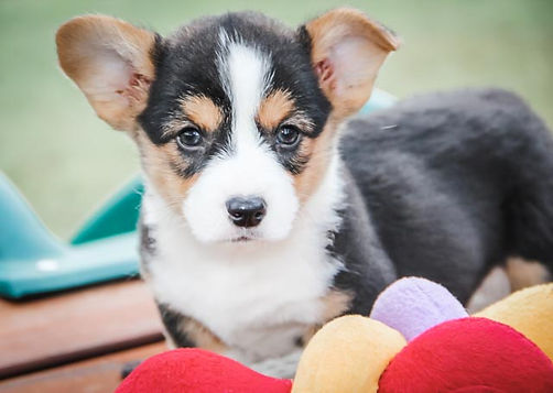 Pembroke Welsh Corgi puppy with a stuffed toy in front of it