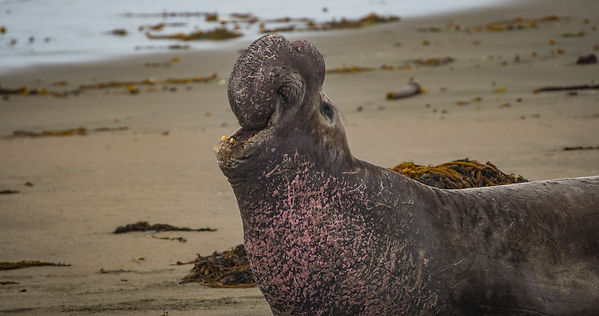 Elephant Seal_MBNMS_Credit Nick Zachar-3
