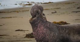 Elephant Seal_MBNMS_Credit Nick Zachar-3