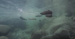 OCNMS_Salmon Run_Nick Zachar-2.jpg