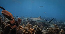 Shark Looe Key_FKNMS_Credit Nick Zachar.