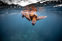 HIHWNMS_Turtle Cleaning Station_Credit N