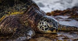 Turtle Eating1_HIHWNMS_Credit Nick Zacha
