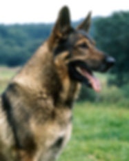 german-shepherd-ap-09cmk5-645.jpg