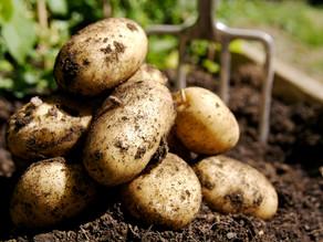 De aardappel, van het land tot op uw bord
