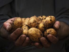 Alles wat u moet weten over de nieuwe oogst aardappelen