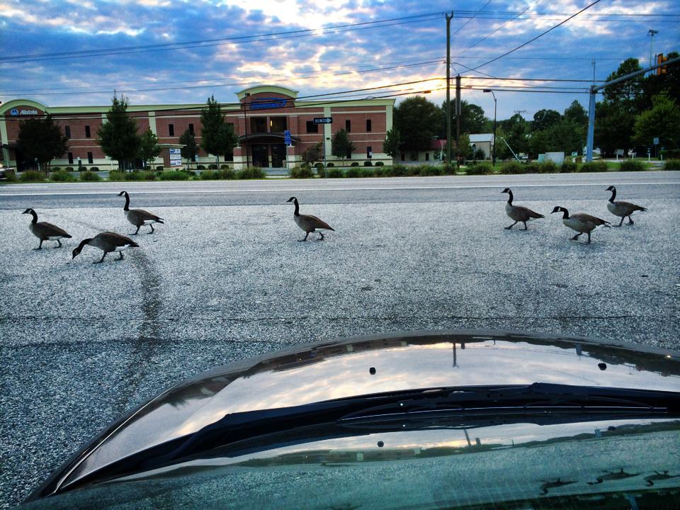 I brake for geese...