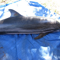 Striped Dolphin June 2011