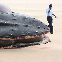 Humpback Whale September 2009