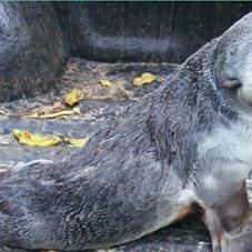 Sub-Antarctic Fur Seal July 2011