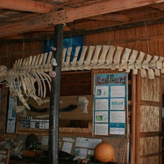 True Beaked Whale Reconstruction 2010 - lost in fire