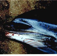 Striped Dolphin November 1997