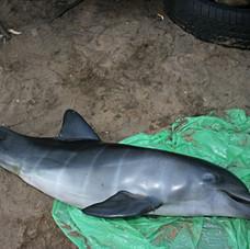 Bottlenose Dolphin June 2010