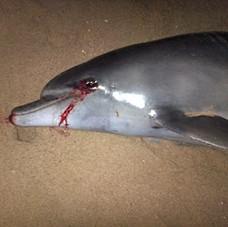 Bottlenose Dolphin December 2014