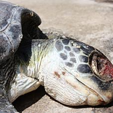 Turtle November 20