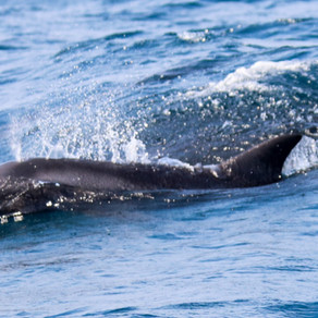 Pygmy Killer Whales in Ponta do Ouro!