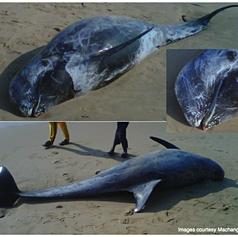 Rissos Dolphin September 2013