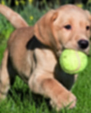 retrieving-puppy.jpg