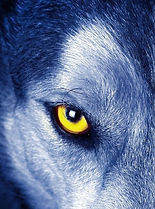 Wolf-Eye-art-wall-poster-pictures-animal