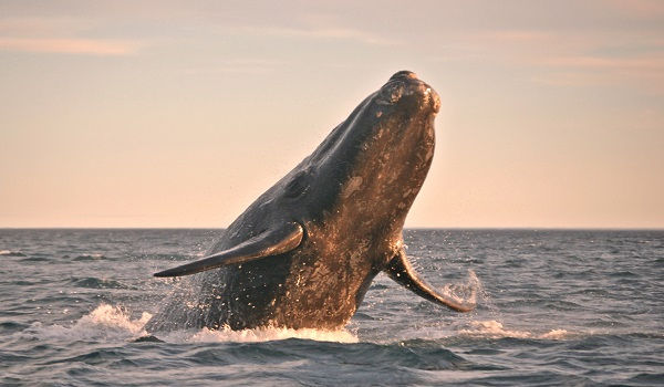 NORTH PACIFIC RIGHT WHALE.jpg