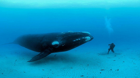 BLUE WHALE 2.png