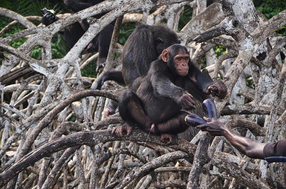 Nourrissage de chimpanzéq