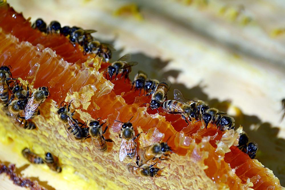Bees and honey from a healthy, varroa-free hive in Santa Rita, Guam, Photo: Olympia Terral