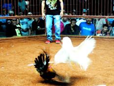Bordallo had no say in farm bill cockfighting ban