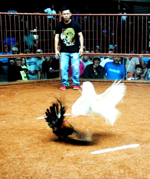 cockfighting in Dededo