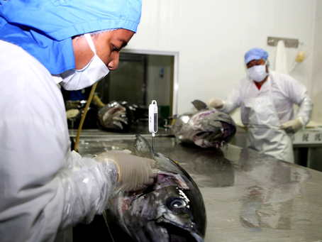 New science indicates healthier bigeye tuna stocks in Western and Central Pacific