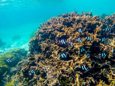 Reef Watch 2017 On the lookout for coral bleaching