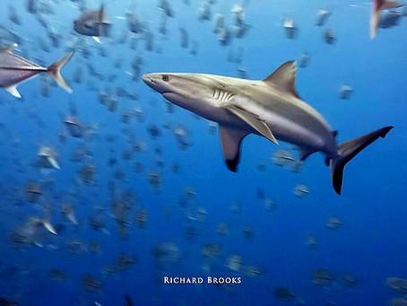 Tuna hunters urged to give sharks a break
